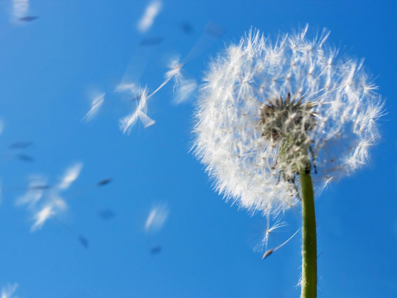 dandelion, vacuums for allergies